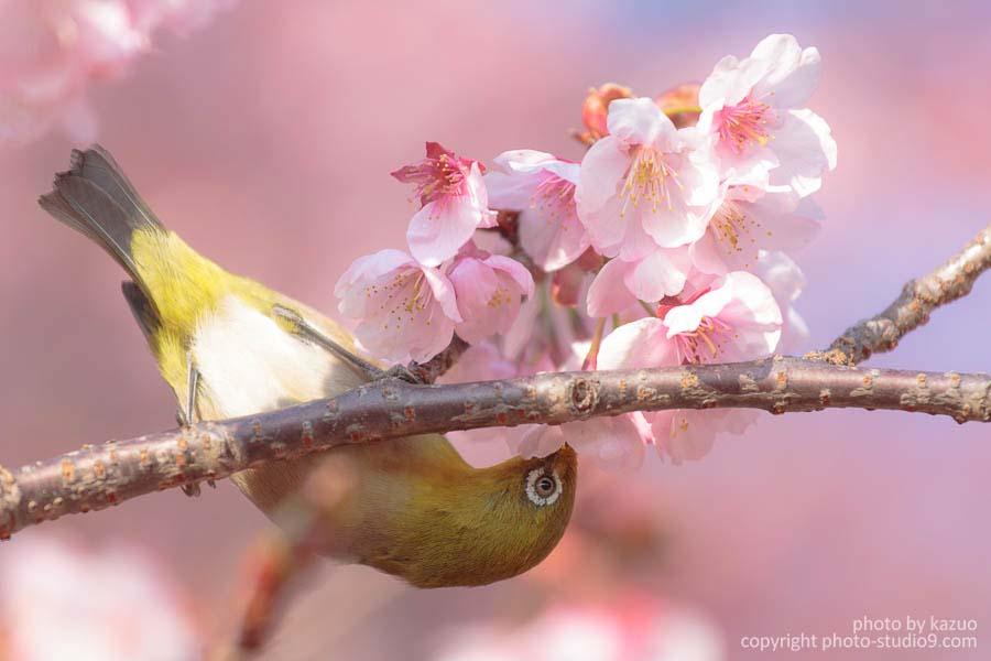 早くも桜満開の新宿御苑でメジロと戯れてきた♪[メジロの撮り方]