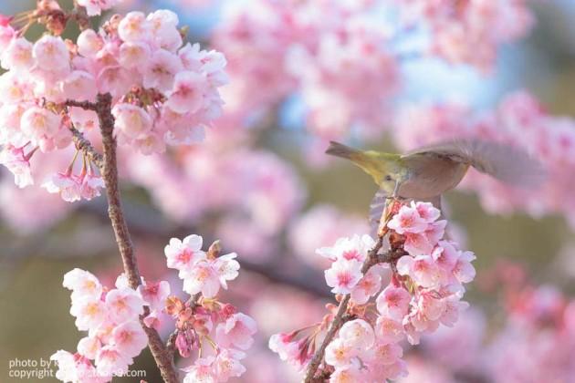 新宿御苑の寒桜とメジロ