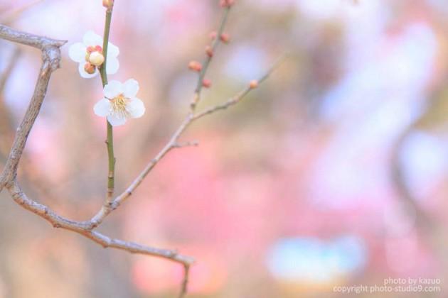 2014 北野天満宮の梅