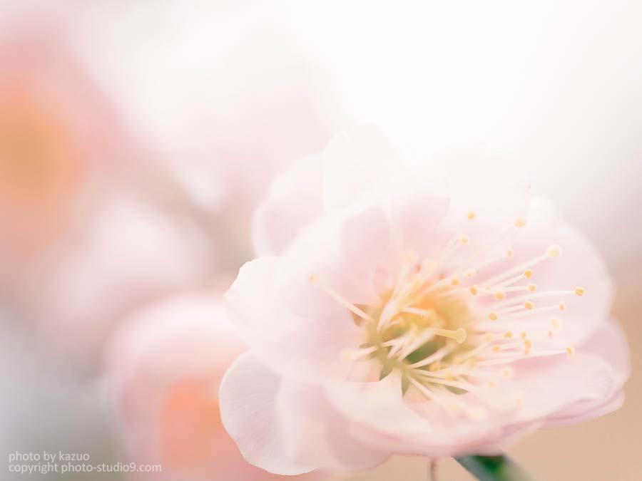 2014年京都の梅写真を撮ってきた![梅宮神社、北野天満宮、京都御所]