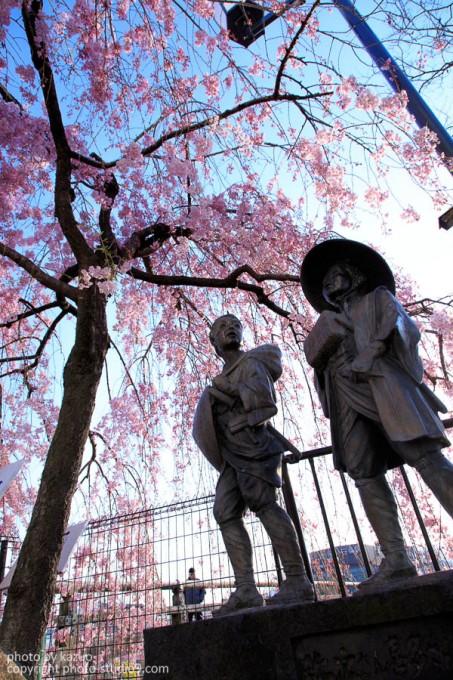 京都の桜 鴨川