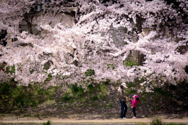 京都の桜 高野川