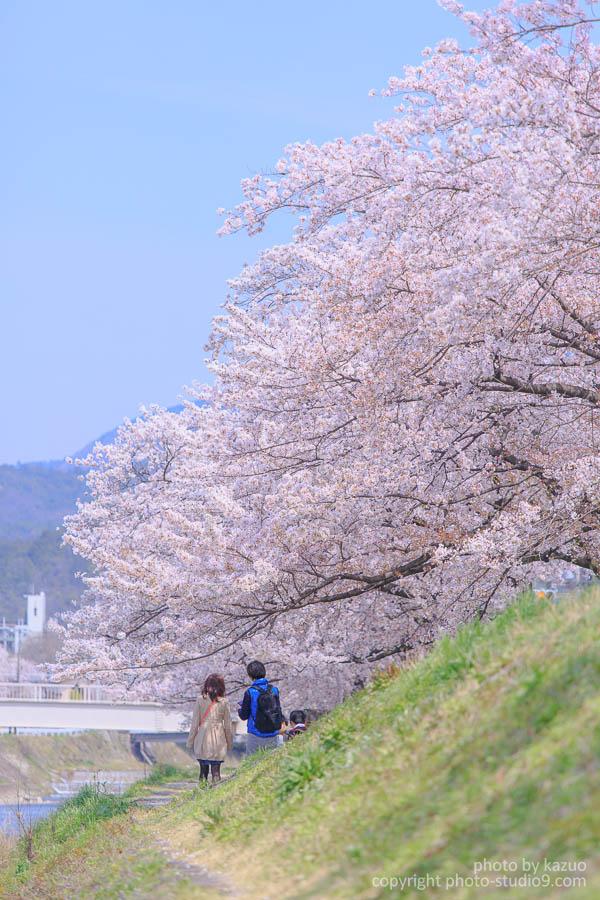 レンタサイクルで桜を求めて京都をぐるりと一周してみた![写真多め]