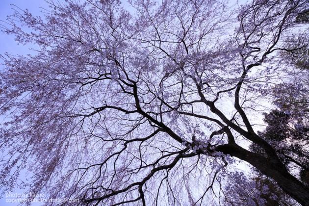 京都の桜 天龍寺