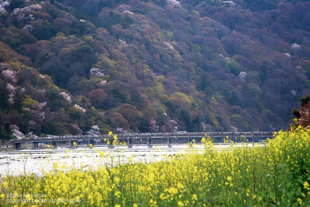 京都の桜 桂川