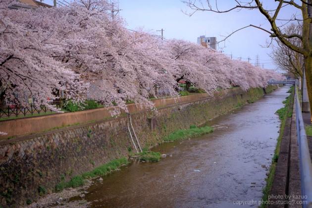 京都の桜 天神川