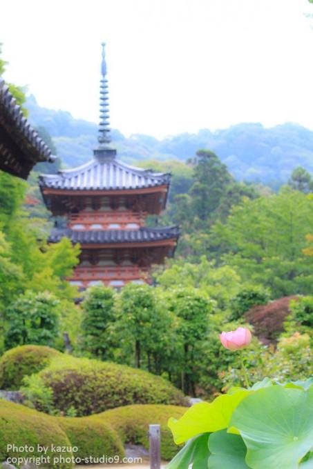 京都 三室戸寺 蓮